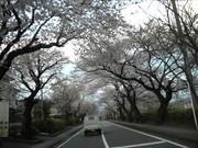遺伝研通りの桜.jpg