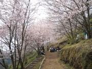 桜野桜まつり2.jpg