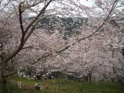 桜野桜まつり4.jpg